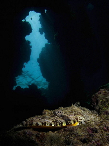 Crocodilefish in the entrance to a cave.  Taken with a co... by Paul Colley 